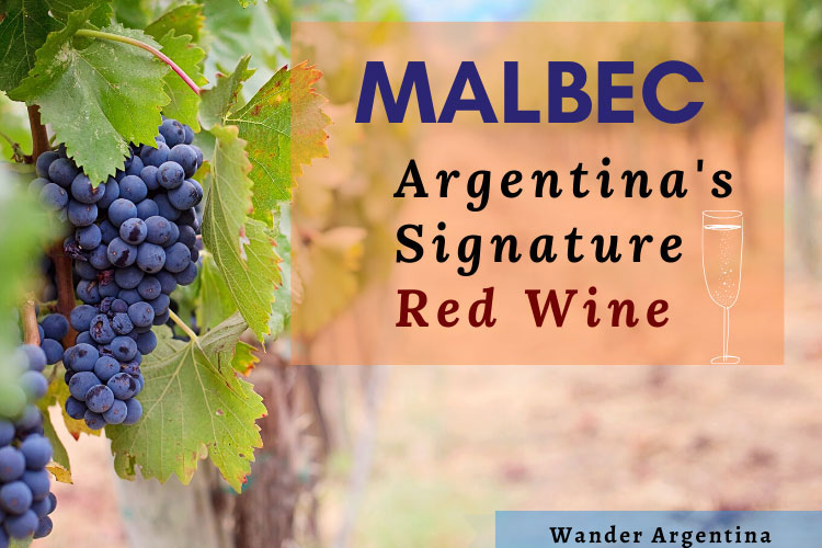 Malbec, Argentinas signature wine with purple grapes in a vineyard in the background