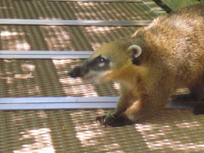 Coatis, or Brazilian aardvarks are part of the racoon family and are seen all over Iguazu Falls