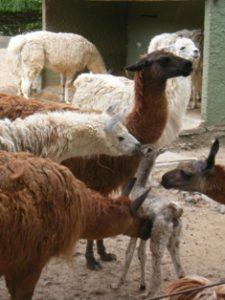 A group of llamas caring for a baby llama at the Buenos Aires zoo