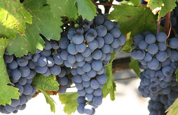 grapes from mendoza argentina