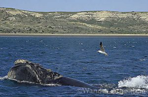 Foto of the Week: Southern Right Whale