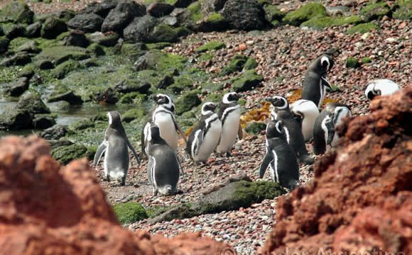 Penguins on the coast in Punta Tombo, Chabut province Argentina