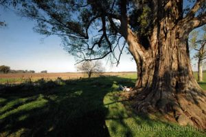 Eucalyptus tree in the countryside in Uribelarrea, Buenos Aires Province