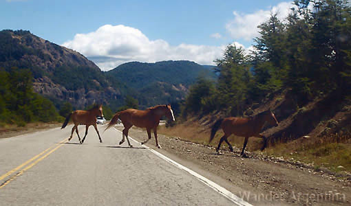 Wild horses dash across the road on the Seven Lake Route in Patagonia, Argentina