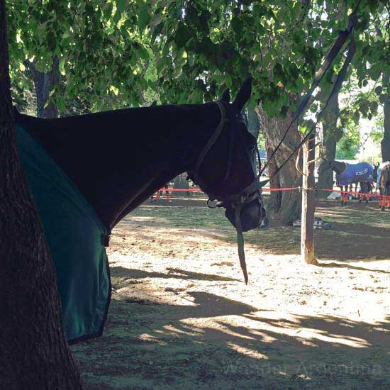 A polo horse waits to play under the shade at Palermo's Campo de Polo