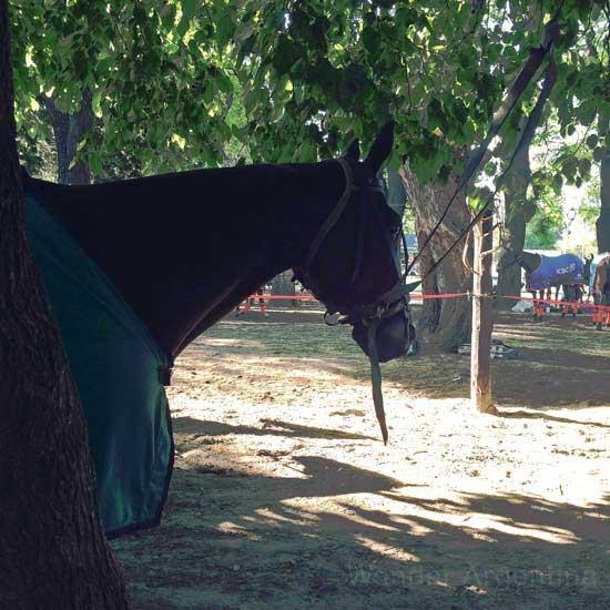 A polo horse waits to play under the shade at Palermo's Campo de Polo